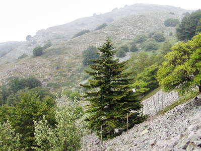 Madonie Mountains | Abies nebrodensis