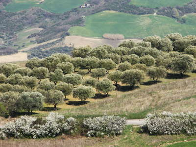 Rionero in Vulture - olive tree cultivation