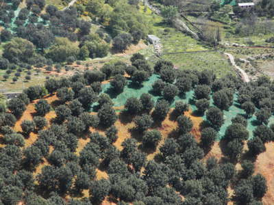 Aspromonte - olive tree cultivation