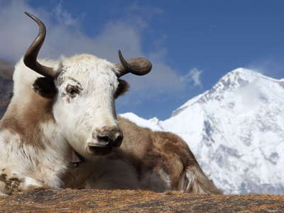 Gokyo Valley  |  Yak and Cho Oyu