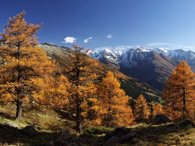 Felbertauern | Larch forest in autumn