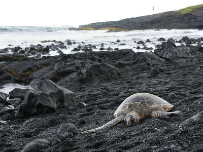 Punalu'u Black Sand Beach  |  Green sea turtle