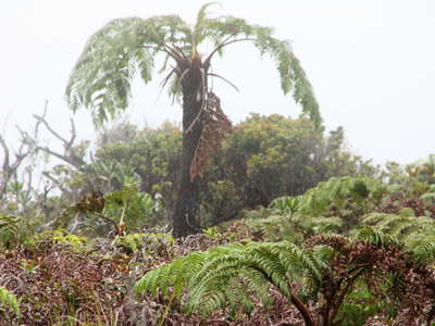 Alaka'i Swamp  |  Tree fern