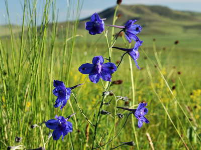 Khotont  |  Steppe with Chinese delphinium