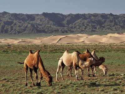 Khongoryn Els  |  Dune field with Bactrian camels
