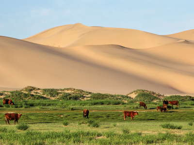 Khongoryn Els  |  Dune field with cattle