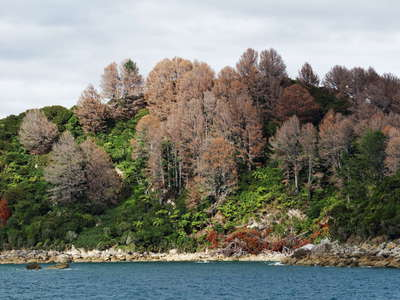 Abel Tasman NP  |  Poisoned pines