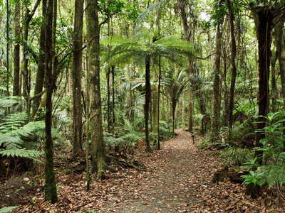 Trounson Kauri Park  |  Subtropical rainforest