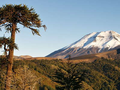 Cuesta Las Raices  |  Araucaria tree and Volcán Lonquimay