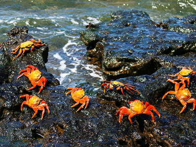 Isla Bartolomé  |  Red rock crabs