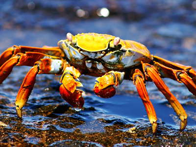 Isla Bartolomé  |  Red rock crab