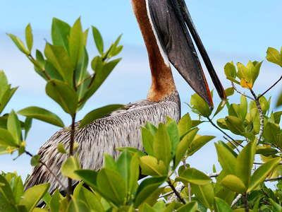 Isla Santa Cruz  |  Brown pelican