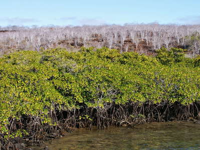 Isla Santa Cruz  |  Mangroves