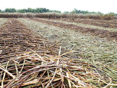 Guayas  |  Sugar cane cultivation