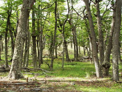 PN Los Glaciares  |  Southern beech forest