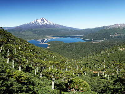 PN Conguillío  |  Araucaria trees and Volcán Llaima