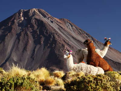 Llamas and Volcán Licancabur