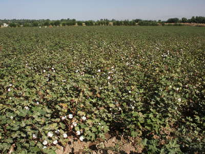 Hissar  |  Cotton field