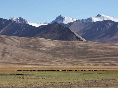 Alichur Pamir  |  Herd of wild yak