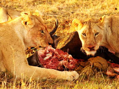 Masai Mara NR  |  Lions at breakfast
