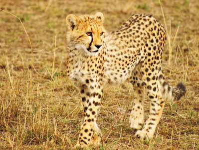 Masai Mara NR  |  Young cheetah