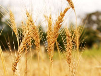 Naro Moru  |  Wheat