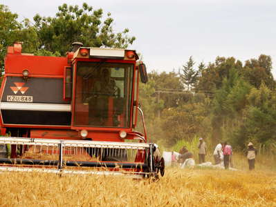 Naro Moru  |  Wheat harvest