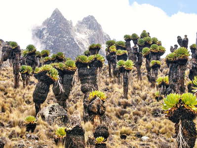 Mount Kenya NP  |  Giant groundsels and summit area