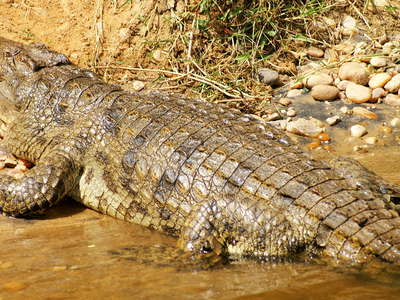 Murchison Falls NP  |  Nile crocodile