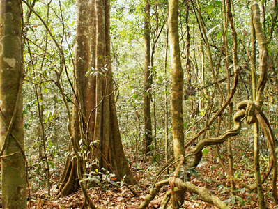 Kibale NP  |  Rainforest with buttresses