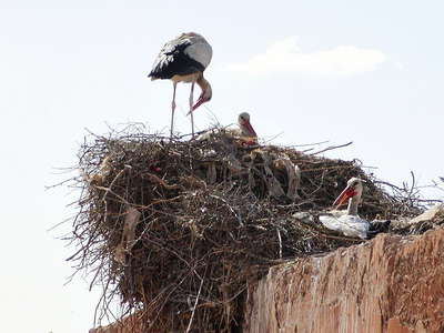 Marrakech  |  Stork nest