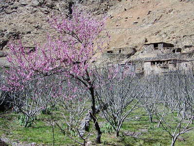 Aït Mizane Valley  |  Flowering peach tree