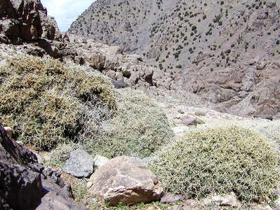 Aït Mizane Valley  |  Thorn shrub vegetation