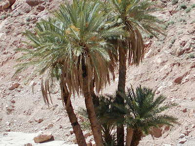 Todgha Gorge  |  Date palm