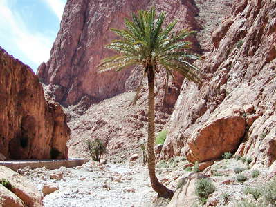 Todgha Gorge with date palm