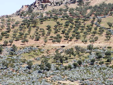Moulay Idriss  |  Olive grove