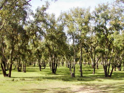 Rabat  |  Cork oak grove