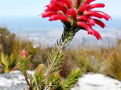 Table Mountain  |  Erica cerinthoides