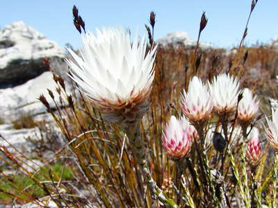 Table Mountain  |  Edmondia sesamoides