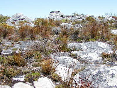 Table Mountain  |  Restioid fynbos