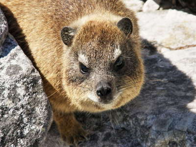 Cape of Good Hope  |  Rock hyrax
