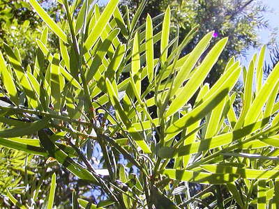 Knysna Forest  |  Podocarpus leaves