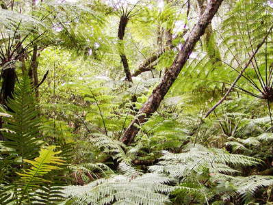 Knysna Forest  |  Understorey with tree ferns