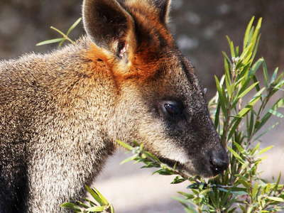 Sydney  |  Wallaby