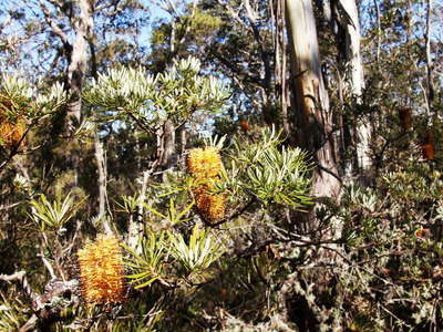 New England NP  |  Banksia spinulosa