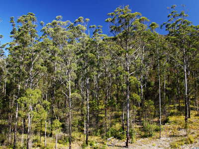 Numinbah Valley  |  Eucalyptus forest