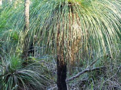 Mount Archer  |  Xanthorrhoea