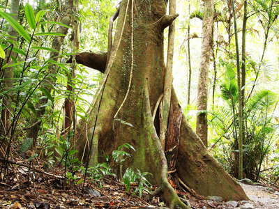 Atherton Tablelands  |  Tropical rainforest with buttresses