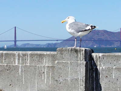 San Francisco  |  Gull and Golden Gate Bridge
