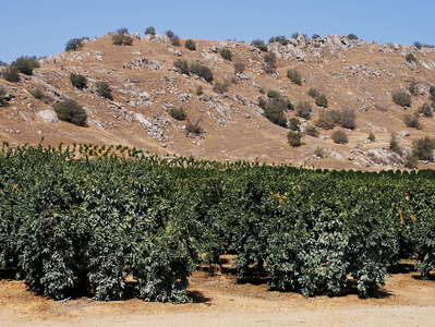 Kaweah River Valley  |  Fruit cultivation